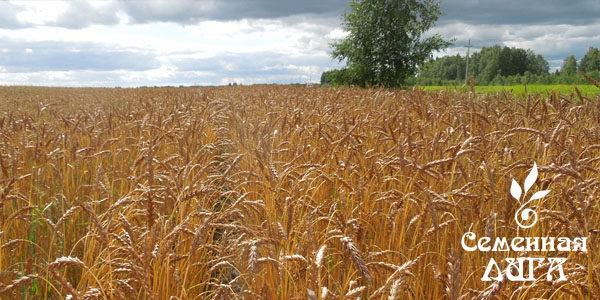Пшеница сорт Ирень